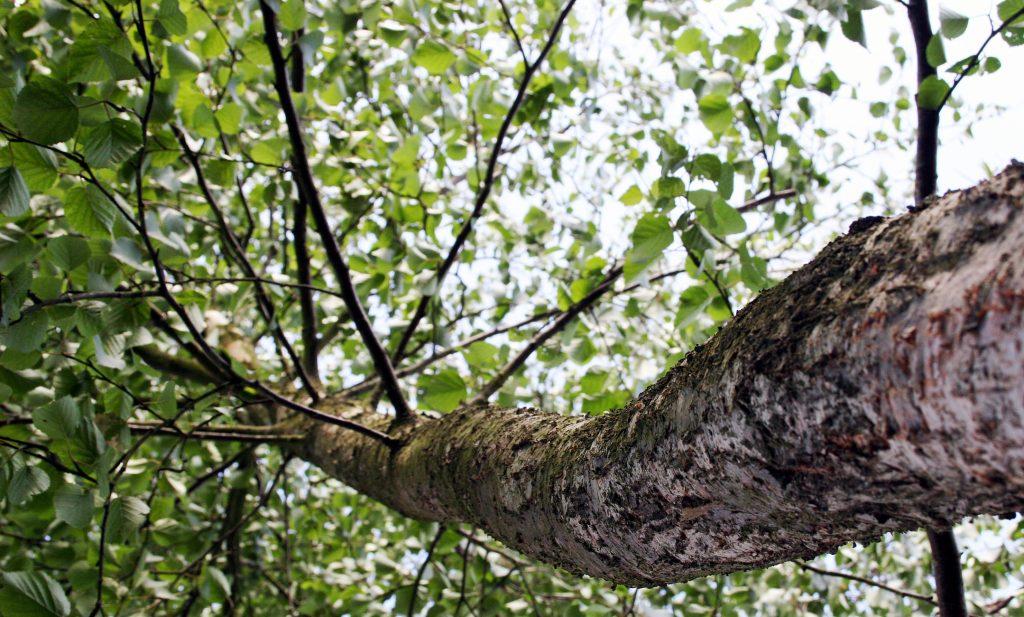 tree-bouleau-1396832-1024x617