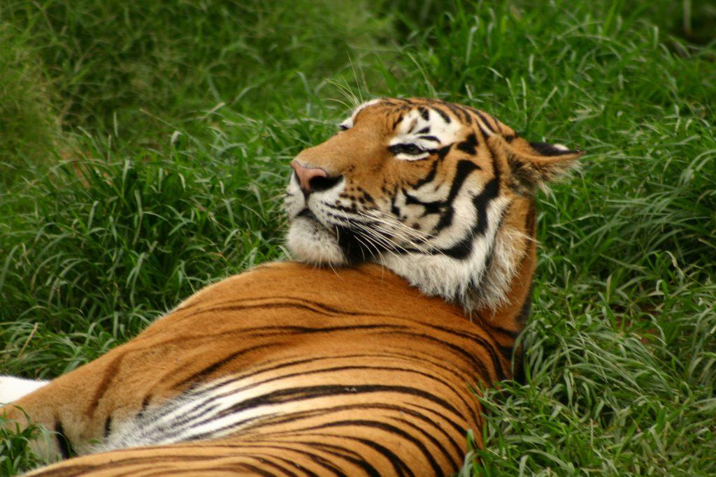 tigers-2-1528804-1024x683